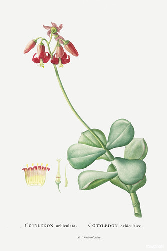 Cotyledon Orbiculata Image from Histoire des Plantes Grasses (1799) by Pierre-Joseph Redouté. Original from Biodiversity Heritage Library. Digitally enhanced by rawpixel.