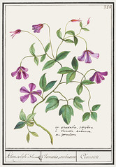 Clematis (1596–1610) by Anselmus Boëtius de Boodt. Original from the Rijksmuseum. Digitally enhanced by rawpixel.