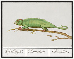 Chameleon, Chamaeleonidae (1596–1610) by Anselmus Boëtius de Boodt. Original from the Rijksmuseum. Digitally enhanced by rawpixel.