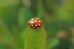 Photo of Orange Ladybird (Halyzia sedecimguttata), Maspie Den, Fife