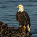 Mature eagle enjoying the sunrise.