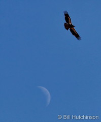 November 20, 2020 - Young bald eagle and the moon. (Bill Hutchinson)