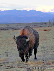 November 21, 2020 - Bison bull on the move. (Bill Hutchinson)