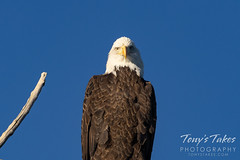 November 22, 2020 - Serious bald eagle. (Tony's Takes)