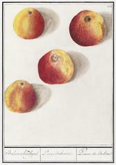 Apple, Malus domestica (1596–1610) by Anselmus Boëtius de Boodt. Original from the Rijksmuseum. Digitally enhanced by rawpixel.