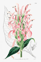 Flesh-colored justicia from Edwards's Botanical Register (1829—1847) by Sydenham Edwards, John Lindley, and James Ridgway. Original from the Biodiversity Heritage Library. Digitally enhanced by rawpixel.