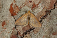 Photo of 70.091 Northern Spinach (Eulithis populata), Craigmead, Fife