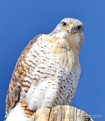 November 23, 2020 - Curious ferruginous hawk. (Bill Hutchinson)