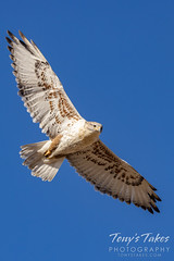 November 21, 2020 - Ferruginous hawk in flight. (Tony's Takes)
