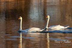 November 22, 2020 - Mute swans on a stop over in Boulder County. (Tony's Takes)