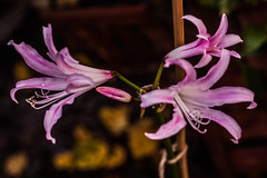 Photo of Nerine take two