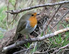 Photo of Friendly Robin