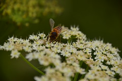 Photo of 20STA415 Bee on cow parsley, Wrottesley Park
