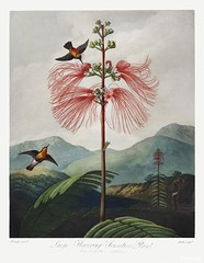 Large–Flowering Sensitive Plant from The Temple of Flora (1807) by Robert John Thornton. Original from Biodiversity Heritage Library. Digitally enhanced by rawpixel.