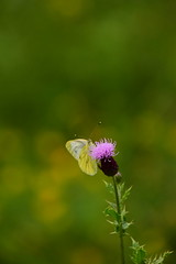 Photo of 20STA417 Green-veined white on thistle, Wrottesley Park