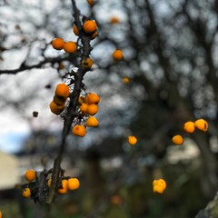 Photo of Winter berries - in the churchyard, Irvine Auld Kirk