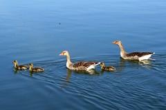 Photo of Geese and Goslings near Bisham