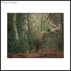 Photo of Gnarled Oak