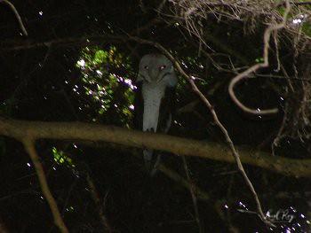 1.05674 Effraie des clochers / Tyto alba affinis / Western Barn-owl