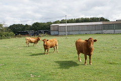 Photo of Brown cows near Tetsworth