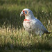 """Long-billed Corella: """"... finds a streetlight, steps out of the shade"""""""