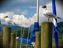 Photo of Gulls on the lookout at Windermere in Cumbria