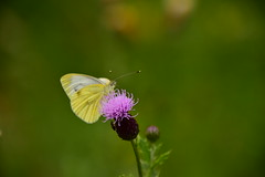 Photo of 20STA418 Green-veined white on thistle, Wrottesley Park