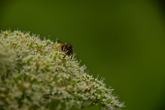 Photo of 20STA422 Wasp on cow parsley, Wrottesley Park