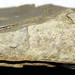 Starved ripple (Bedford Shale, Upper Devonian; Rocky Fork, Gahanna, Ohio, USA) 2