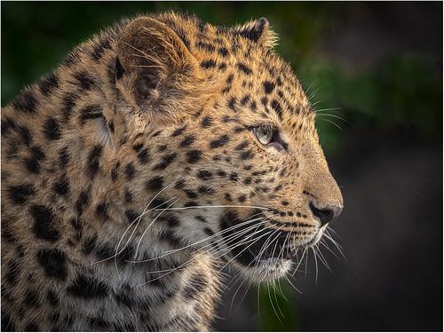 Panthera by James Norton - Award Class B DPI-Nov 2020