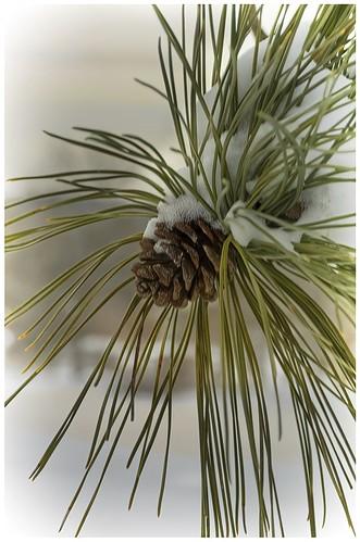 Snow on the Pine Cone by Mitchell Stemler - HM Class B DPI-Nov 2020