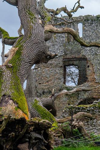 Death of an old oak