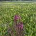 IMG_7973 Pedicularis groenlandica