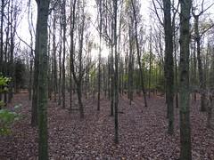 Photo of Hagbourne: Millennium Forest trees