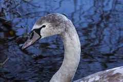 Photo of Cygnet Swan
