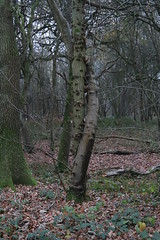 Photo of Amorous embrace - Oak and Sycamore