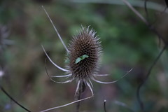 Photo of Vivipary on Teasel Head in Maidenhead Thicket