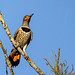 Red-shafted northern flicker woodpecker
