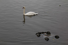 Photo of 3rd December 2020. Swan in the Ship Canal, Salford Quays, Greater Manchester.