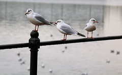 Photo of 3rd December 2020. Gulls by the Ship Canal, Salford Quays, Greater Manchester.