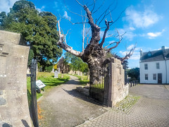 Photo of Beauly Priory Oldest tree