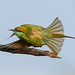 A Green Bee Eater Taking Off
