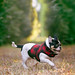 Pekingese Mix Puppy