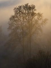 Tree Silhouette in Fog