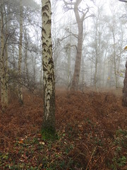 Photo of Trees in the mist, Sandy, Bedfordshire