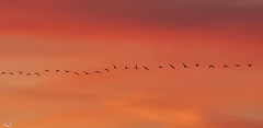 Geese fly out...