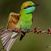 A Bright looking Green Bee Eater