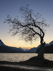 Tree Silhouette at Lake Sils