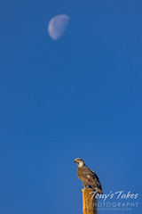 December 6, 2020 - Bald eagle and the moon. (Tony's Takes)