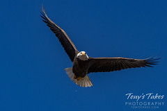 December 5, 2020 - Beautiful bald eagle flyby. (Tony's Takes)